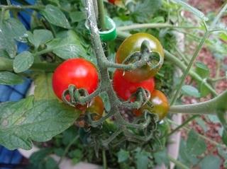 ミニトマトの収穫.jpg