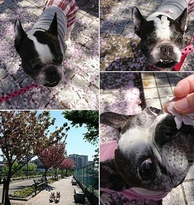 散り桜&八重桜.jpg