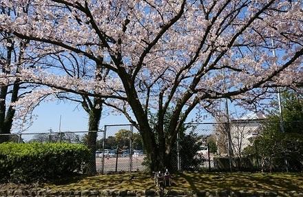 桜~.jpg
