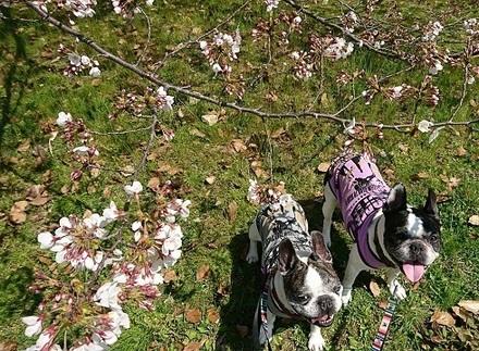 大濠公園の桜〜.jpg