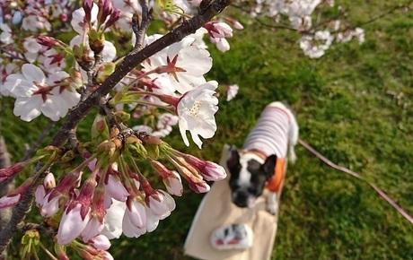 広場の桜.jpg