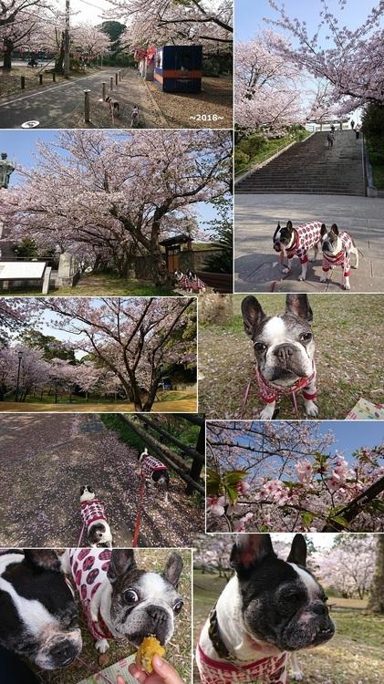 西公園の桜.jpg